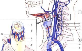 Расположение сонной артерии и особенности строения: левая и правая, наружная и внутренняя ее части