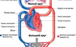 Отличия артериальной и венозной крови: как научиться различать