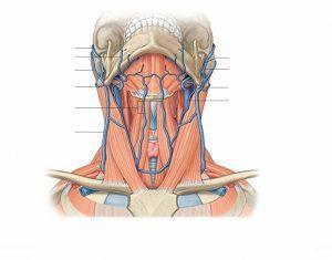 Яремная вена: анатомия, причины расширения передних, внутренних и наружных сосудов шейного отдела