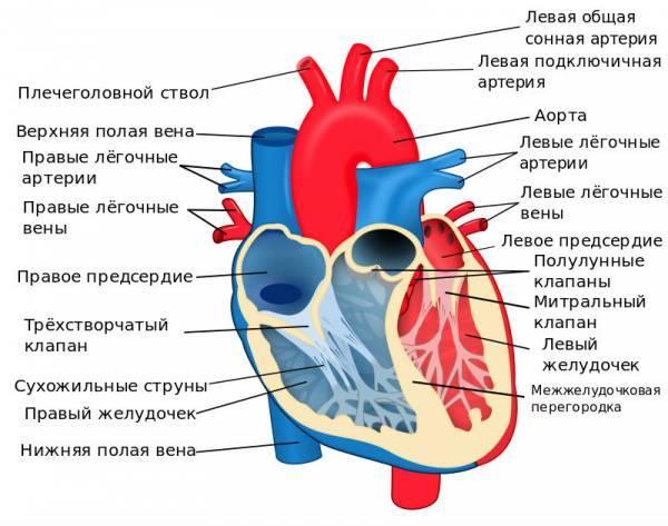 Сердце человека: функции, анатомическое строение, принцип работы