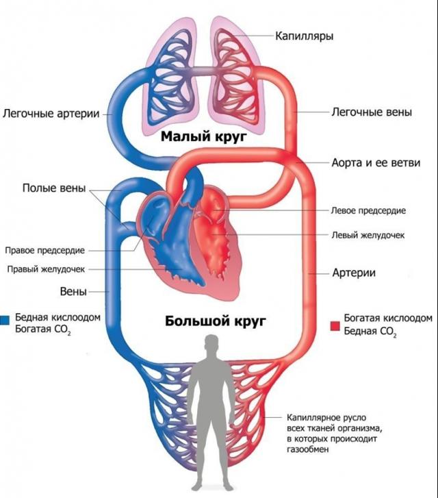 Клапаны сердца: функции и виды, методы диагностики, строение и работа сердечно-сосудистой системы человека