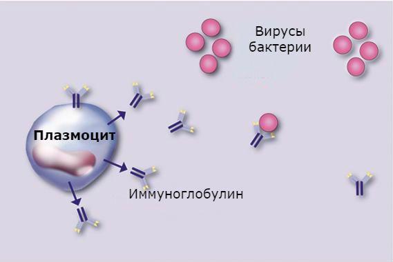 Плазматические клетки в общем анализе крови: что это значит, диагностика, результаты