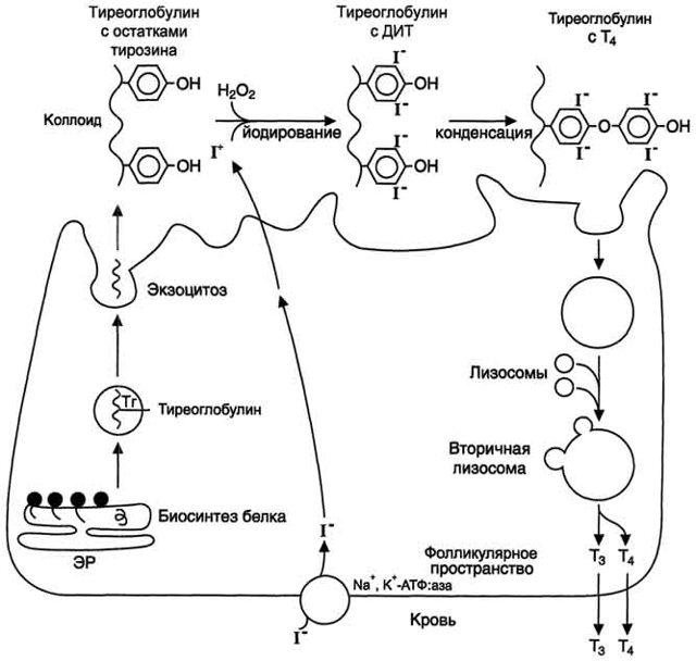 Антитела к тиреоглобулину: что это такое, как подготовиться к анализу, норма и отклонение