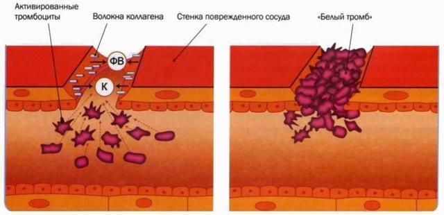 Факторы свертывания крови: таблица, физиология, комбинации