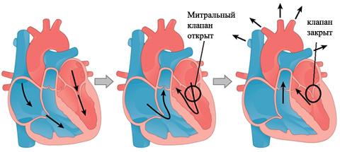 Пролапс митрального клапана: причины болезни сердца и симптомы пролабирования, установление диагноза и лечение