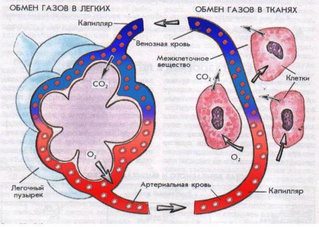 Клетки крови: строение и функции, особенности и виды, транспортировка кислорода и углекислоты