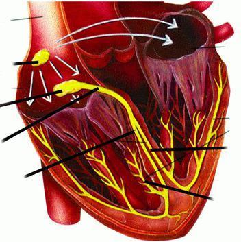 Сердечный цикл, его фазы: что это такое, из чего состоит деятельность сердца, таблица