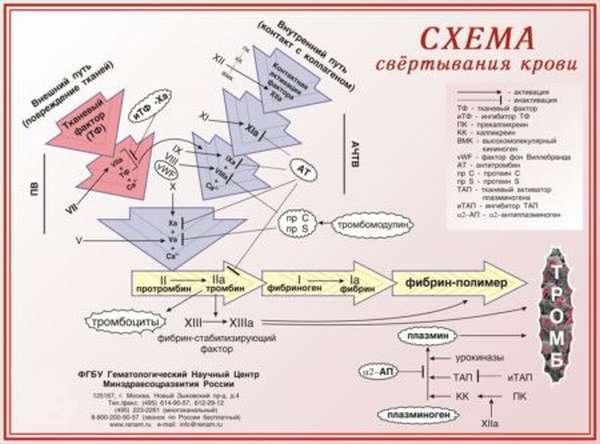 Свёртывание крови: описание процесса, основные этапы, условия и факторы системы коагуляции