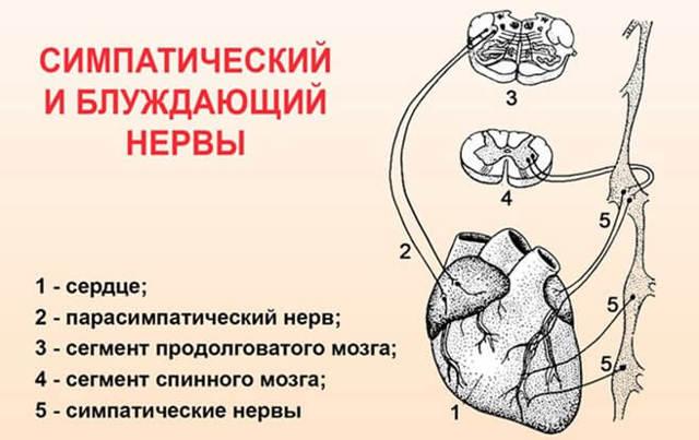 Вариабельность сердечного ритма: что это такое и что это значит, норма, причины отклонения