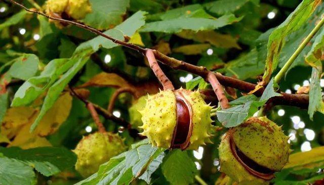 Травы, разжижающие кровь и препятствующие тромбообразованию и укрепляющие стенки сосудов
