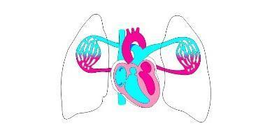 Круги кровообращения: краткое описание, особенности анатомии, функции в организме человека