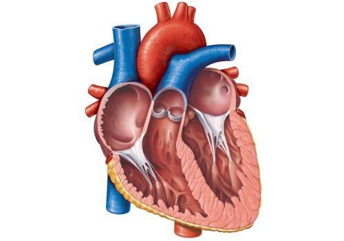 Дополнительная хорда в полости левого желудочка: что это, причины, виды, симптомы, лечение