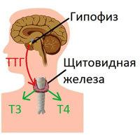 Т3: показатели общего и свободного соединения, норма в анализах крови