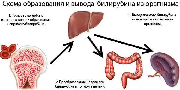 Билирубин в крови у женщин: норма по возрасту, таблица, причины отклонений, лечение