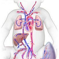 Кровообращение плода: схема и описание, анатомия, особенности, нарушения