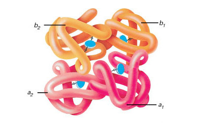 Анализ крови на гамма-глобулин: нормы, повышенный и пониженный уровень