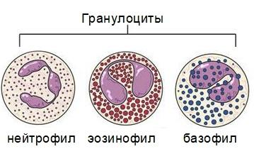 Лимфоцитоз: причины возникновения, основные симптомы абсолютной и хронической форм, диагностика и лечение