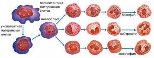 Палочкоядерные нейтрофилы: что это такое, норма в крови, причины повышения и понижения