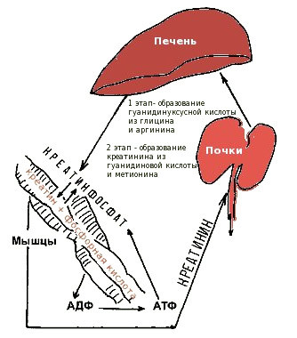 Креатинин в крови: нормальные показатели, причины повышения и понижения плазменной концентрации