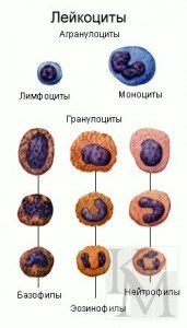 Где образуются лейкоциты у человека: функции, состав, лейкоцитарная формула