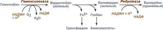 Как повысить гемоглобин при беременности: почему изменяется уровень гемоглобина