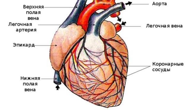 Как почистить сосуды сердца с помощью настоек