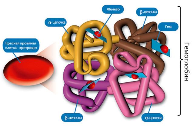 mch в анализе крови: то это такое, нормы, расшифровка, что значит если показатель понижен или повышен