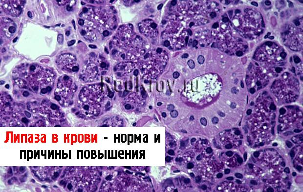 Липаза: основная характеристика фермента, функция, норма анализа крови и лечение лекарствами