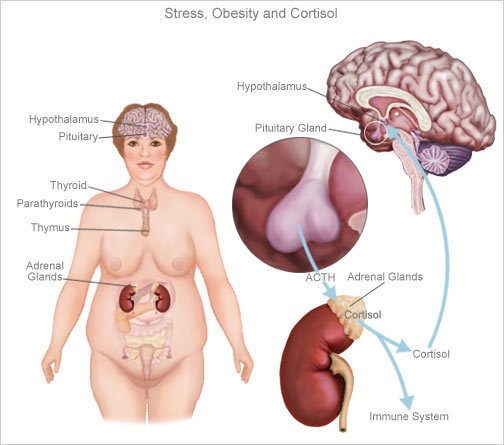 Кортизол: для чего нужен и на что влияет гормон, определение уровня естественного глюкокортикоида в крови