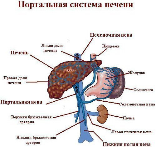 Портальная гипертензия: причины синдрома, симптомы и методы снижения давления в вене