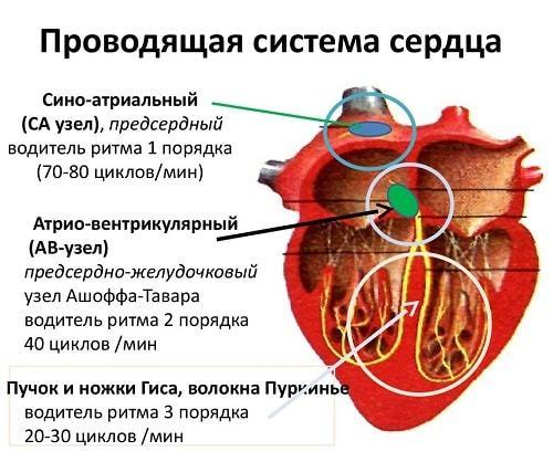 Строение сердца человека: анатомия, функции, принцип работы и схема кровообращения