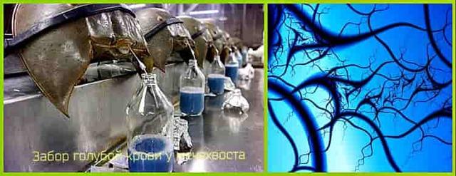 Голубая кровь - что это значит, как выглядит, почему так говорят