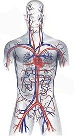 Как очистить кровеносные сосуды в организме человека