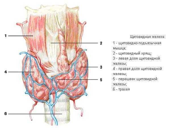 Анализы на гормоны щитовидной железы: расшифровка результатов, показатели нормы, подготовка к сдаче крови